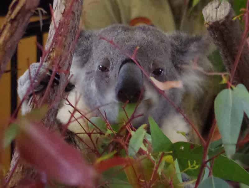 Brisbane - koala
